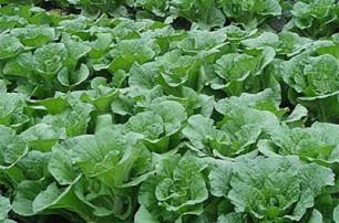 大白菜的种植及施肥管理方法